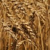 Try a Wheat Free Diet for Better Health