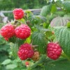 Are Raspberry Ketones Good For Your Health