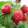 Raspberry Ketone Diet ~ How It Works