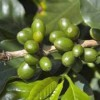 The Truth About Green Coffee Bean Side Effects