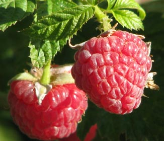 Raspberry Ketones Benefits