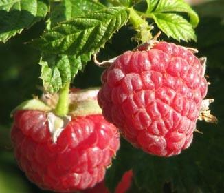 Raspberry Ketones Benefits