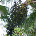 Start Eating Acai Berry