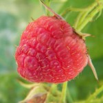 raspberry_red_bright
